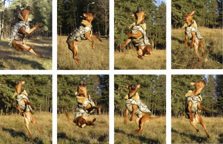 moscovian: Brown smooth coated russian toy terrier dressed in coat jumping in the air collage