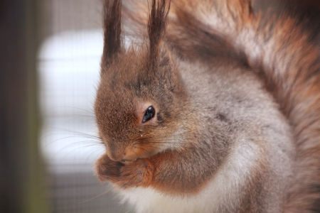 Eurasian red squirrel sitting on the branch in the cage photo