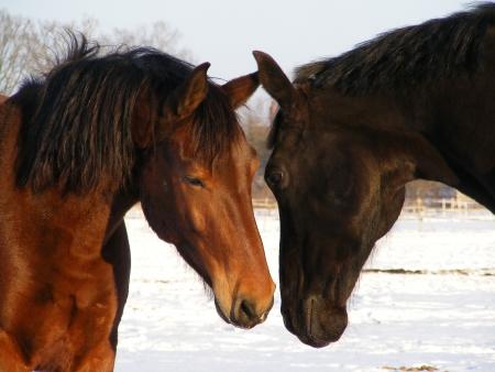 chevaux noir: Chevaux brun et noir fouinais l'autre