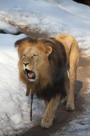 snowand 품에 앙골라 사자 산책