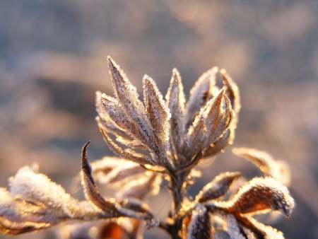 hoar frost: Plants covered in hoar frost during sunrise