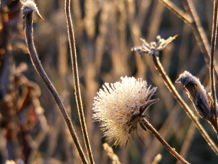 hoar frost: Flower covered in hoar frost during sunrise