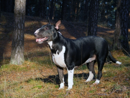 Black and white english bull terrier in the forest photo