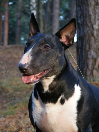 Happy black and white english bull terrier portrait in the forest photo