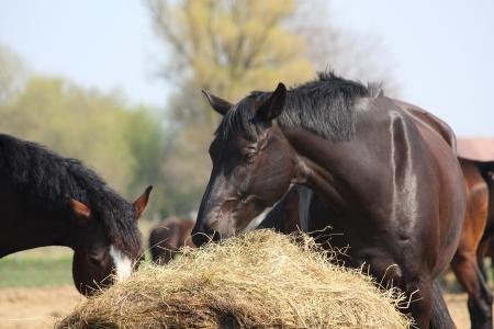 caballo negro: Caballo negro comiendo heno seco