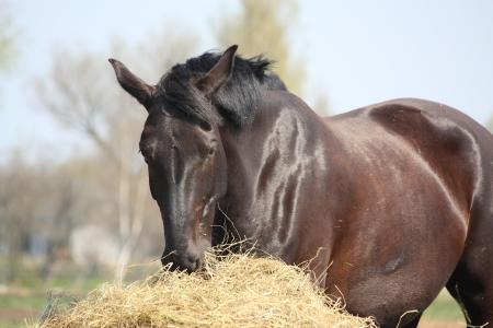 Black horse eating dry hay