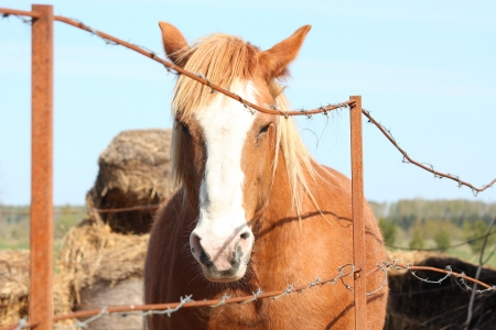 draught horse: Palomino draught horse portrait behind the barbed wire fence Stock Photo