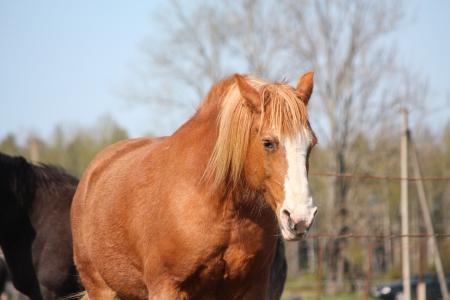 draught horse: Palomino latvian draught horse portrait
