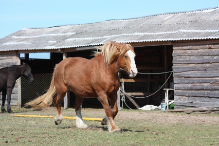 Palomino draught horse trotting at the field near the stable Stock Photo - 15362748