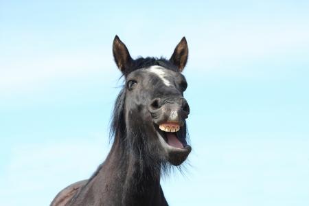 Portrait of black horse with white stripe yawning Stock Photo