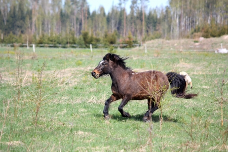 shetland pony: Brown shetland pony galloping at the field in spring Stock Photo