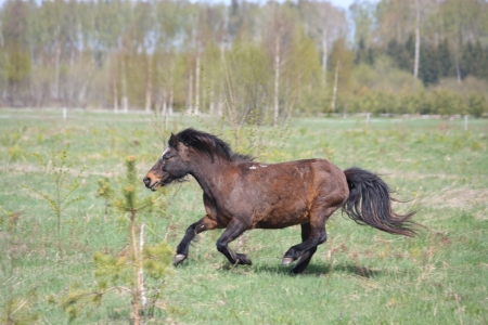 Brown shetland pony galloping at the field in spring Stock Photo