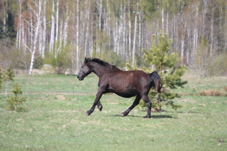Black pregnant horse galloping at the field in summer photo