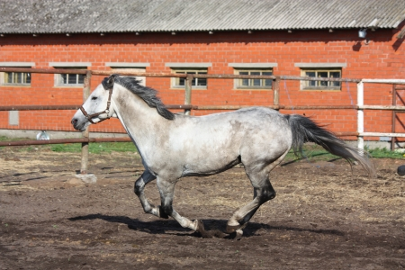 horse fly: Gray horse galloping in the paddock near the stable