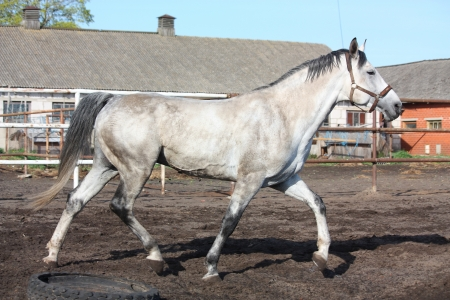 Gray horse trotting in the paddock near the stable Stock Photo - 15362728