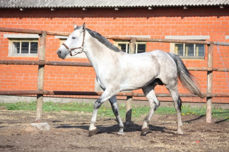 trotting: Gray horse trotting in the paddock near the stable Stock Photo