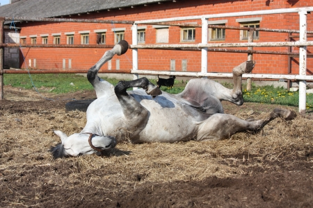 Gray horse rolling on the ground in the paddock