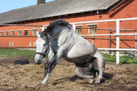 Gray horse getting up from the ground in the paddock photo