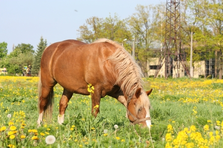 Beautiful palomino Latvian draught horse portrait at the field