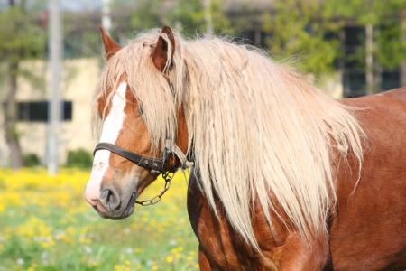 draught horse: Beautiful palomino Latvian draught horse portrait at the field
