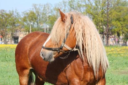 Beautiful palomino Latvian draught horse portrait at the field