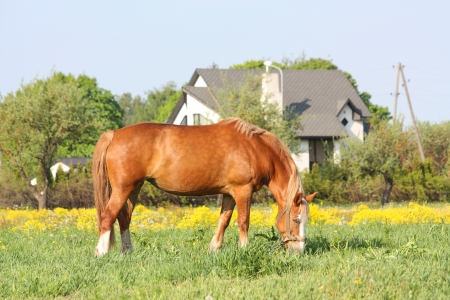draught horse: Palomino latvian draught horse eating grass at the pasture with flowers