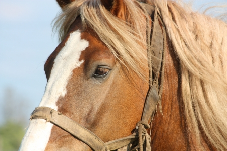 draught horse: Palomino Latvian draught horse close up