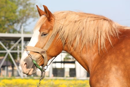 draught horse: Beautiful palomino Latvian draught horse portrait at the field
