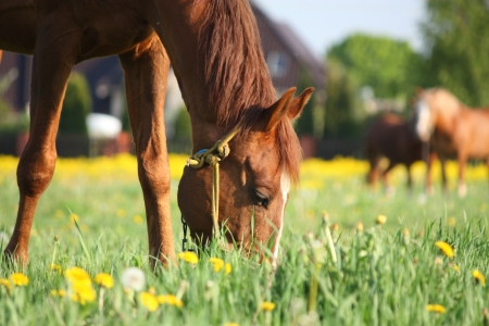 Chestnut horse eating grass at the field with yellow flowers