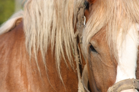 Palomino Latvian draught horse close up photo