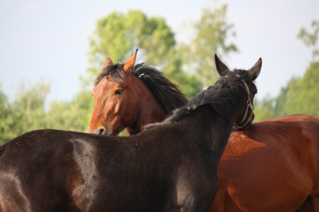 horse collar: Brown and black horses nuzzling each other