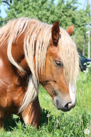 draught horse: Palomino draught horse with long mane eating grass at the field in summer Stock Photo