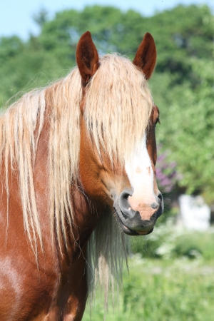 draught horse: Beautiful palomino draught horse with long mane portrait in summer