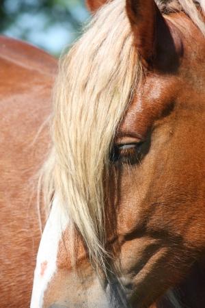 head close up: Palomino horse with long mane head close up