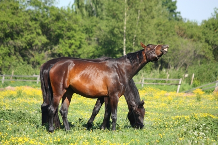 Happy brown horse smilling (flehmen response) at the field with flowers