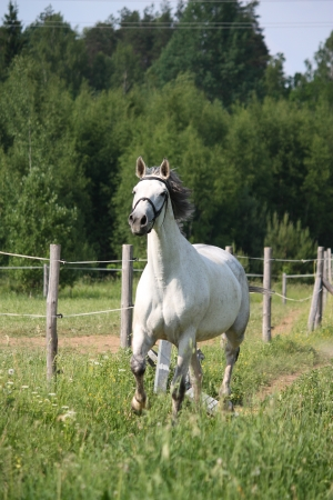 White horse trotting at the pasture along the farm fence photo