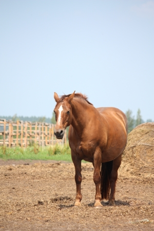Brown pregnant horse mare standing at the field near the farm fence photo