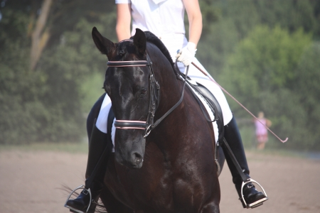 Beautiful sport horse portrait during dressage test in summer
