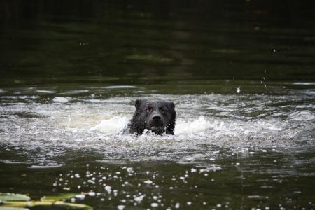 sennenhund: Sennenhund incroci nuoto nell'acqua scura