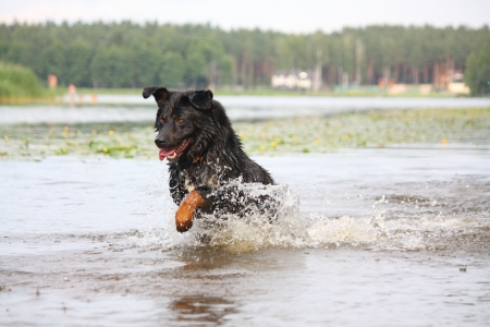Happy swiss mountain dog crossbreed running and jumping in the water Stock Photo - 17162383