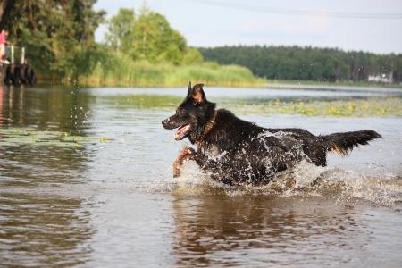 Perro feliz de montaña suizo cruce corriendo y saltando en el agua Foto de archivo