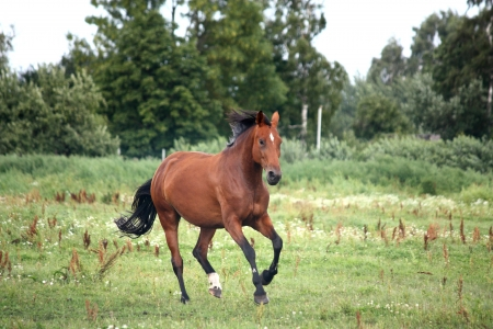 Bay horse galloping free at the pasture in summer Stock Photo - 17203386