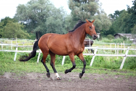 Bay horse galloping free at the pasture in summer photo