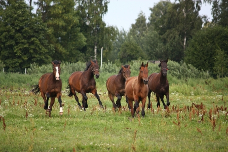 fast horse: Horse herd running free at the field in summer