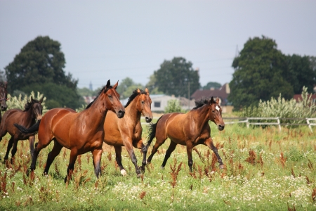 Horse herd running free at the field in summer Stock Photo - 17203294