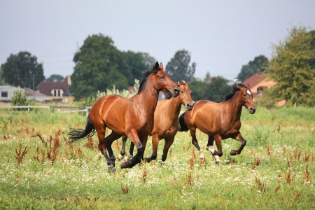 cantering horse: Horse herd running free at the field in summer