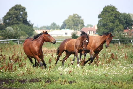 Horse herd running free at the field in summer