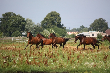 Horse herd running free at the field in summer photo