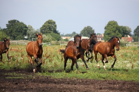 Horse herd running free at the field in summer Stock Photo - 17203381