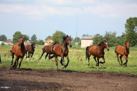 Horse herd running free at the field in summer Stock Photo - 17203374